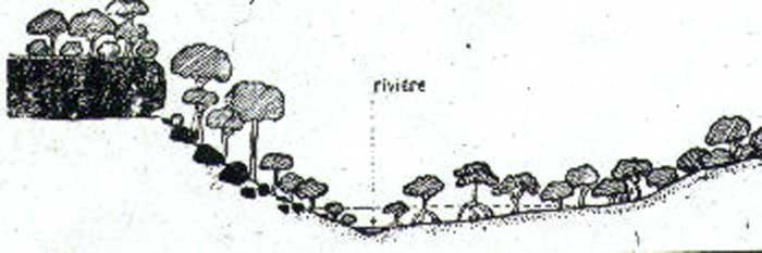 Profil schématique de la mangrove ripicole du Kakimbo