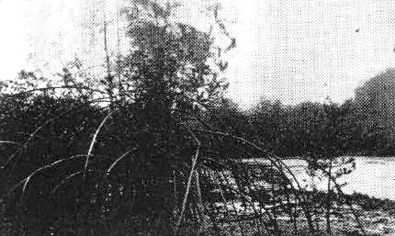 Mangrove ripicole à Rhizophora de la rivière Kakimbo