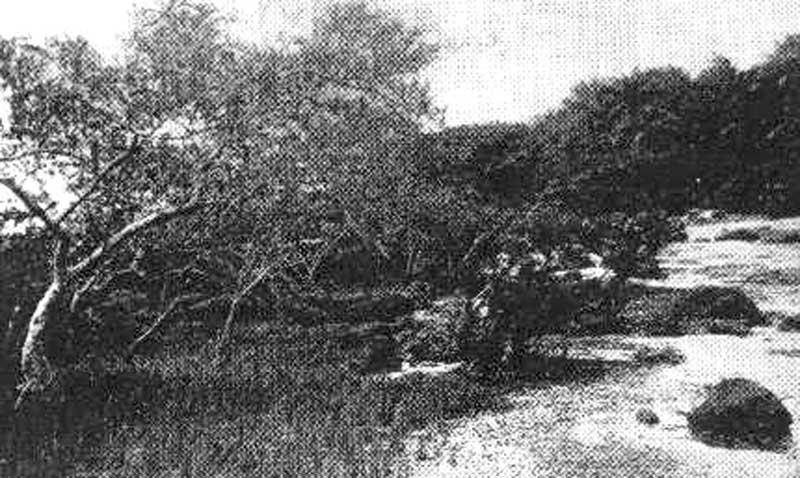 Mangrove à Avicennia sur soubassement rocheux